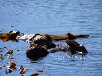 Morro Bay Otters by Destiny-Carter