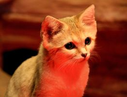 Sand Cat Stock 11 by HOTNStock