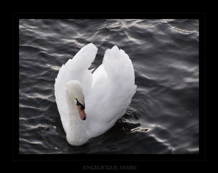 Mute Swan VIII by angelicque