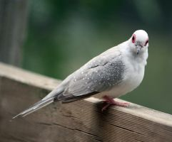Dove 01 by aussiegal7