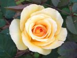 A Gorgeous Yellow Rose by Raineve