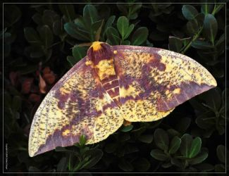 Imperial Moth 50D0006957 by Cristian-M