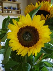 Sunflower - 02 by LunaNYXstock
