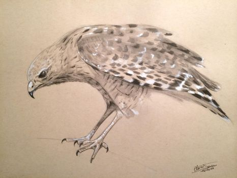 Falcon by ClaireJouy