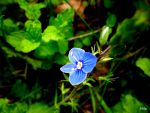 blue flower by Lionpelt-66