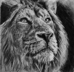 Lion by Ray-Clark