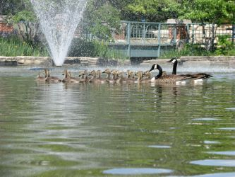 A Gaggle of Geese in the Pond by RobMitchem