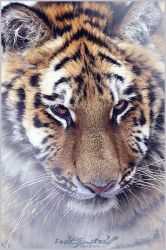 .:Young Tiger:. by WhiteSpiritWolf