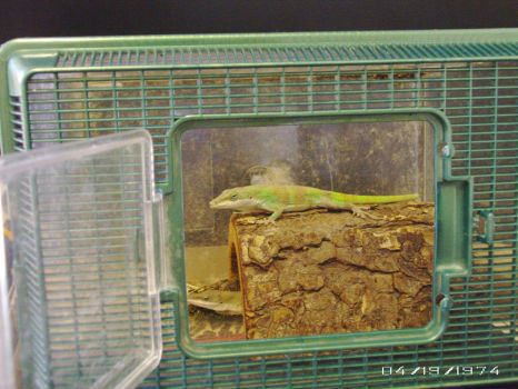 Anole Diaghria by Crystice