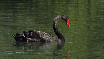 Black Swan by Yunners