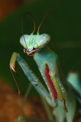 jade mantis adult male cleanin by macrojunkie