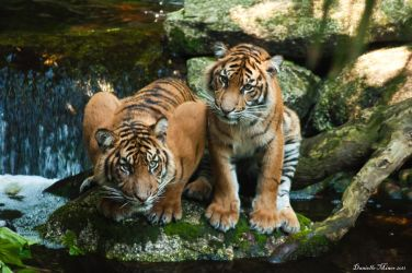 Tigers on a Rock by daniellepowell82