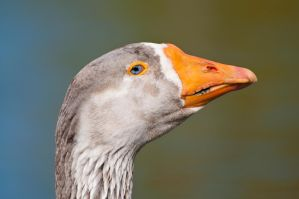 Geese looking at me 2 by artistmarty