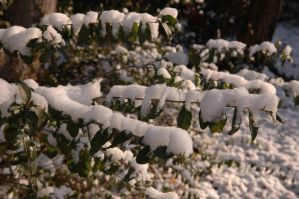 Snow on Holly by anakinluvr