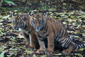 Tiger Cubs by daniellepowell82