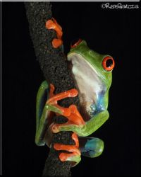 Red Eyed Tree Frog 2 by elshorty