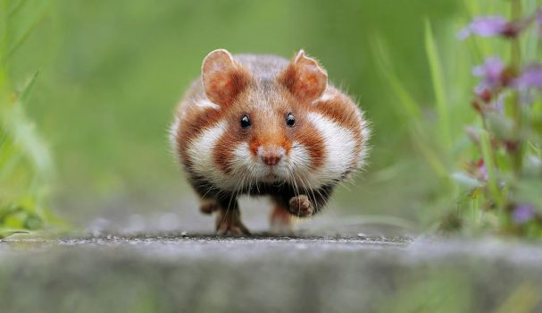 Hamster in a hurry by JulianRad