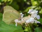 Cabbage White Butterfly by Bunny-with-Camera