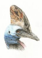Southern cassowary by cola93
