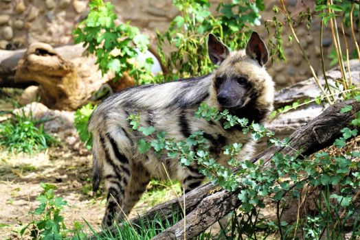 Hyena in the plants by shinigamisgem
