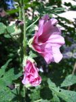 pink striped hollyhock by jesterrysources