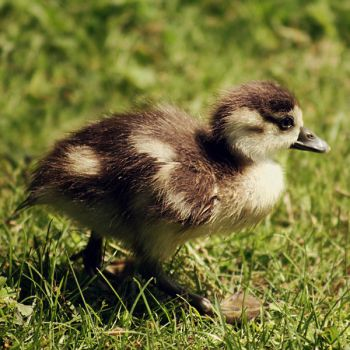 young goose by cloe-patra