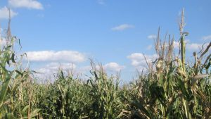 Corn and Clouds by SumYungGa1