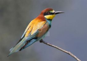 European Bee-eater by Jamie-MacArthur