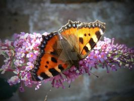 Tortoiseshell Butterfly by AstarothSquirrel