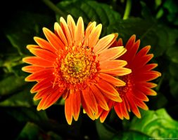 Garden flowers - Orange Yellow Gerbera by Mike-Kossi