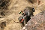 Baboon breakfast by Kbulder