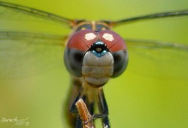 Dragonfly Series (Blue Dasher closeup) by sioranth