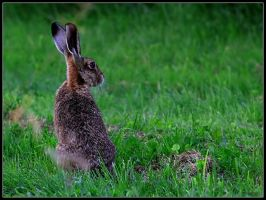 Brown Hare by cycoze
