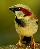 Male Sparrow by Tinap
