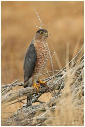 Cooper's Hawk by Ryser915