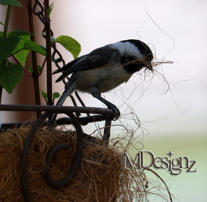 Soon To Be Baby Chickadee dee dees by 33M
