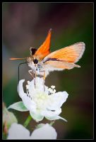 Perched Skipper by Wivelrod
