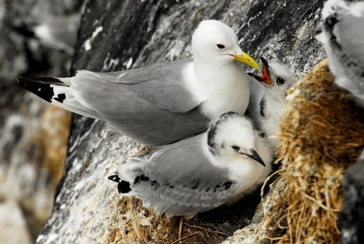 Kittiwake fledglings by Shadow-and-Flame-86