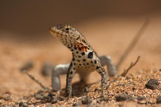 Lava lizard by mamt