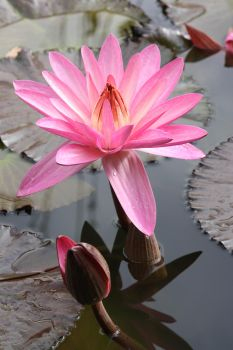 water lily by Onkelsam