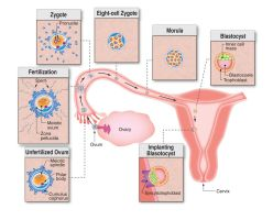 Begining of life-Medical graphic by rizzope