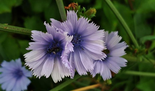 Chicory Flowers At Kinder Farm by Matthew-Beziat