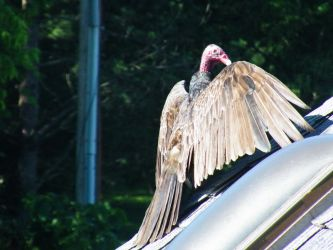 Happy Vulture by sargentsnarky