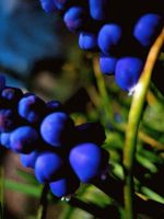 Grapes Flowers by stephie00180