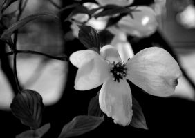 Dogwood in B and W by coffeenoir