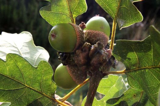 Knopper gall and acorns by handtoeye
