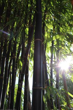 Black Bamboo by shadowmoon13