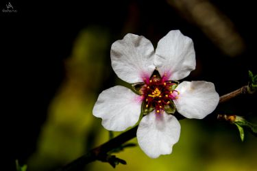 Almond flower by VitoDesArts