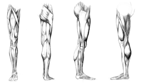 Anatomy Study - leg muscules by Call0ps