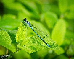 Damselfly II by AstarothSquirrel